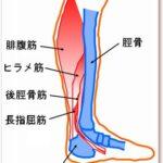 ヒラメ筋・後脛骨筋の場所